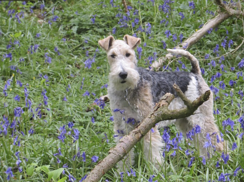 Boris the dog